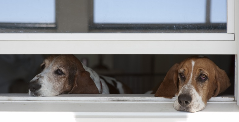 Dogs look out open window with no window covering in Austin.